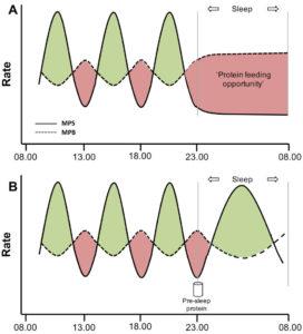 筋タンパクの合成と分解の模式図